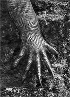 Sebastião Salgado, 'Genesis: Marine Iguana, Galápagos Islands, Ecuador', 2004