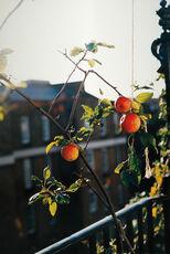 apple tree (f)