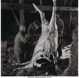 Untitled (Slaughtered Cow)