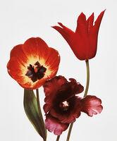 Irving Penn, 'Three Tulips (Red Shine, Black Parrot, Gudoshnik), New York', 1967