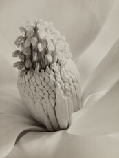 Magnolia Blossom (Tower of Jewels)