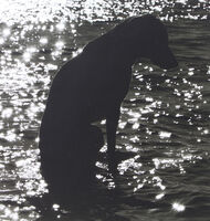 William Wegman, 'Of The Lake', 1976