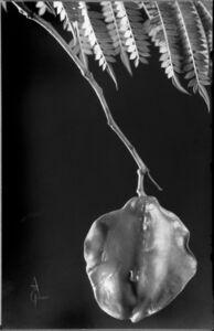 Anatole Saderman, 'Jacarandá mimosifolia, fruit', ca. 1935