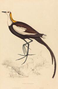 Elizabeth Gould, 'Parra Sinensis (Pheasant-Tailed Jacana)'