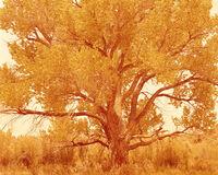Cottonwood Tree I, Summer, Bears Ears National Monument, Utah