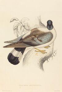 Elizabeth Gould, 'Columba Leuconota (Snow Pigeon)'