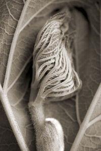 Cara Weston, 'Leaf Beginning, Big Sur', 2007