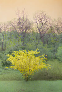 Maria Muller, 'Yellow Flowering Tree, Orange Sky'