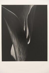 Willard Van Dyke, 'Canna Leaf', 1933