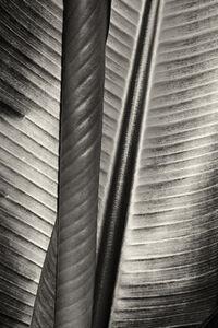 Cara Weston, 'Two Leaves, Moorea'