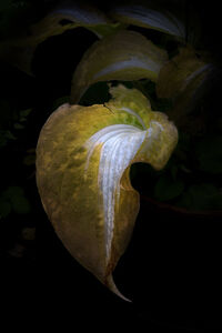 Elspeth Diederix, 'Hosta leaf 'Night before Christmas'', 2014