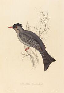Elizabeth Gould, 'Hypsipetes Psaroides (Black Bulbul)'
