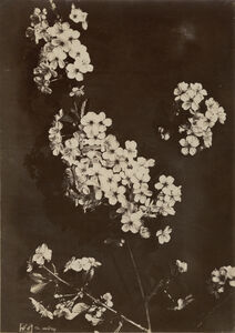 Charles Aubry, 'Cherry Blossoms', 1860s/1860s