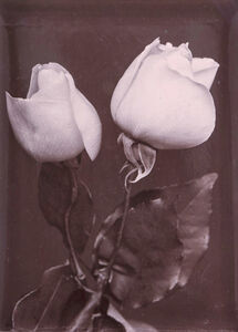 Charles Jones (1866-1959), 'White Roses', ca. 1900