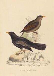 Elizabeth Gould, 'Turdus Poecilopterus (Aztec Thrush)'