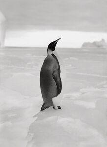Herbert George Ponting, 'An Emperor Penguin', N/A