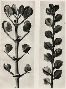 Karl Blossfeldt, 'Plate 113 - a.Zygophyllum fabago, Common Cotoneaster b. Cotoneaster integer '