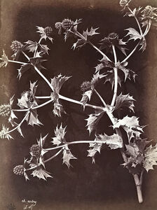 Charles Aubry, 'Thistle or Sea Holly with Dark Background', 1864c/1864c