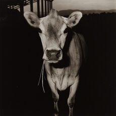 Cow with Straw in Its Mouth