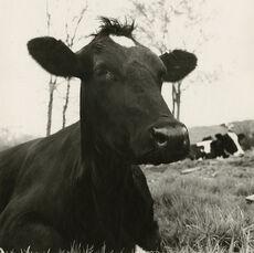Face of a Cow Lying Down, Hyrkin Farm