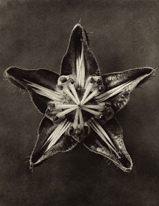 Karl Blossfeldt, 'Plate 56 Cajophora lateritia (Loasacae) '