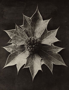 Karl Blossfeldt, 'Eryngium maritimum', 1932