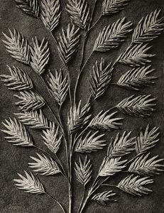 Karl Blossfeldt, 'Uniola latifolia', 1932
