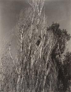 Alfred Stieglitz, 'Poplars—Lake George', 1932