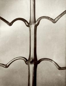 Karl Blossfeldt, 'Plate 19 - Impatiens gladulifera, Himalayan Balsam'