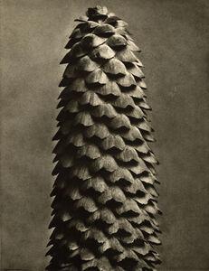 Karl Blossfeldt, 'Plate 119 - Picea excelsa', 1932