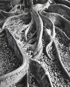 Ansel Adams, 'Roots, Foster Garden, Honolulu, Hawaii ', 1948