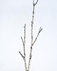 Juliane Eirich, 'Birch Tree I', 2014
