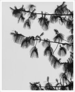 Ebbe Stub Wittrup, 'Pinus Wallichiana 1', 2018