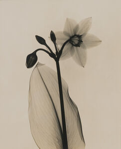 Dain Tasker, 'Amazon Lily', ca. 1930