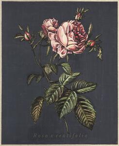 Jacques Payette, 'Rosa x centifolia', 2019