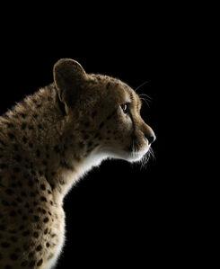 Brad Wilson, 'Cheetah #2, Los Angeles, CA', 2011