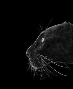 Brad Wilson, 'Black Leopard #2, Monterey, CA', 2014