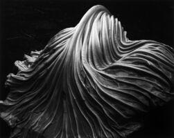 Edward Weston, 'Cabbage Leaf ~ 41V', 1931