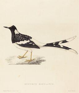 Elizabeth Gould, 'Enicurus Maculatus (Spotted Forktail)'