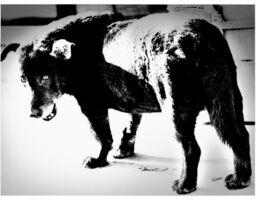 Daido Moriyama, 'Stray Dog, Misawa', 1971