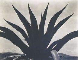 Edward Weston, 'Maguey Cactus, Mexico 1926', 1926
