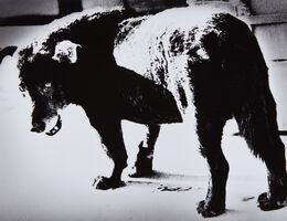 Daido Moriyama, 'Stray Dog, Misawa, Aomori', 1971-printed later