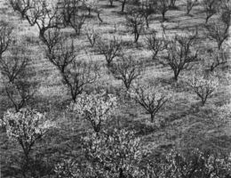Ansel Adams, 'Orchard Early Spring Near Stanford, CA', 1940-printed circa 1963