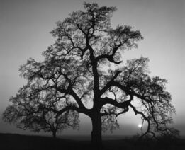 Ansel Adams, Oak Tree, Sunset City, Sierra Foothills, California
