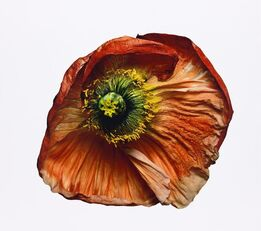 Irving Penn, Iceland Poppy/Papaver nudicaule (B), New York (IP.P.1223)