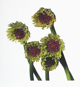 Irving Penn, Gerbera Daisy / Gerbera Asteraceae, New York
