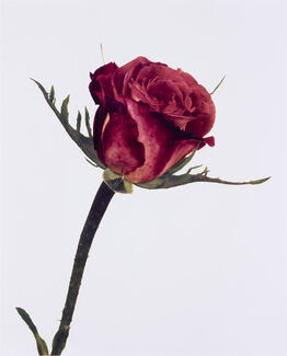 Irving Penn, Rose, Color Wonder, London