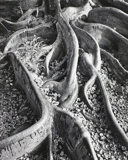 Ansel Adams, Roots, Foster Garden, Honolulu, Hawaii