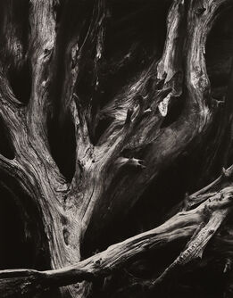 Ansel Adams, Sequoia Roots