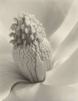 Imogen Cunningham, Magnolia Blossom (Tower of Jewels)